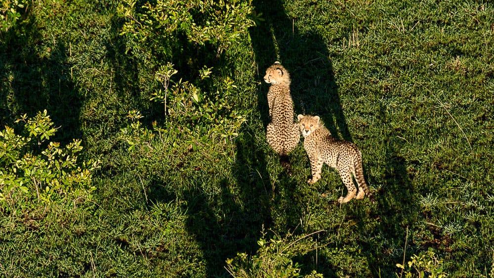 Cheetah cub staring at our hot air balloon as we flew over them in the Masai Mara.