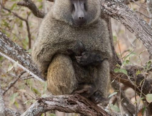 Baboons on Safari – Kenya 2016