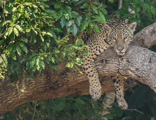The Amazing Jaguar! 15 Facts