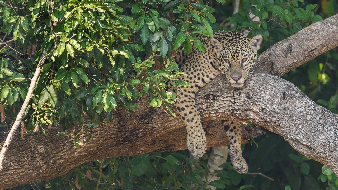 leopard in tree pantanal