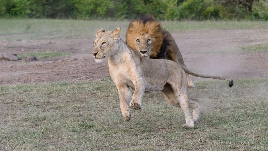 male lion charging female