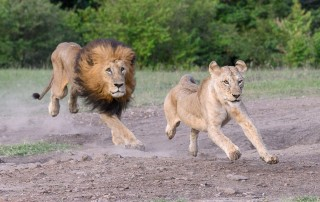 male lion chasing female