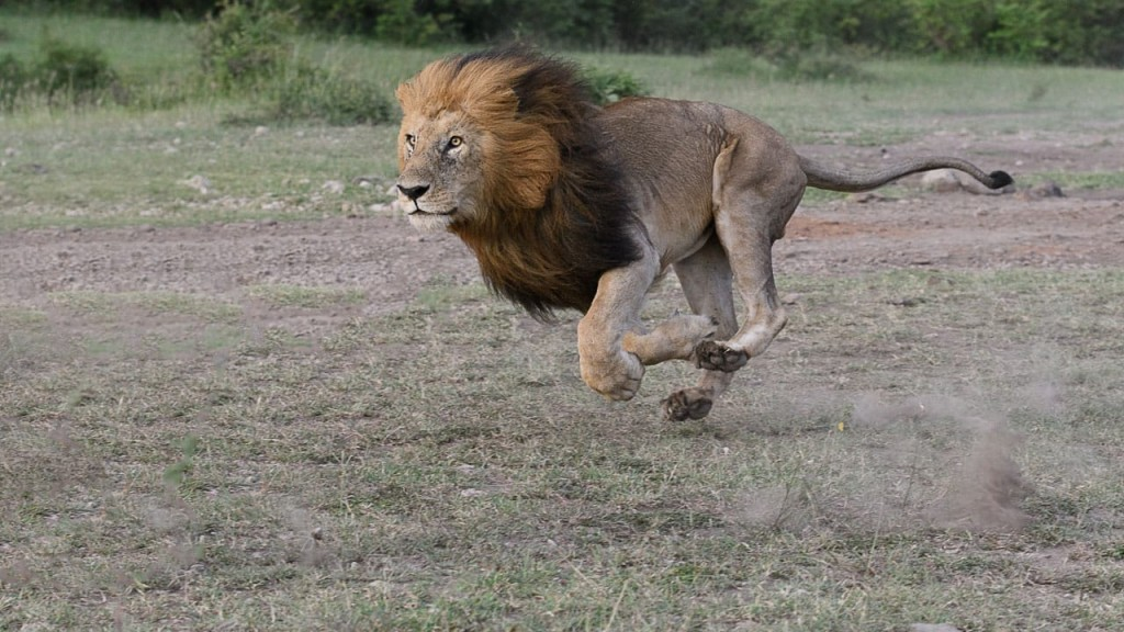 male lion running