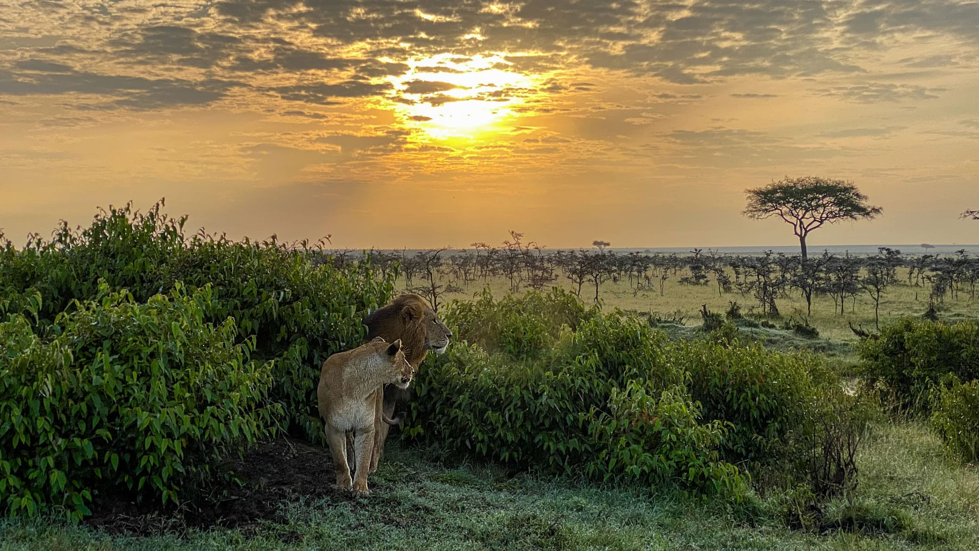 Lion couple sunset Kenya Jeff Wendorff