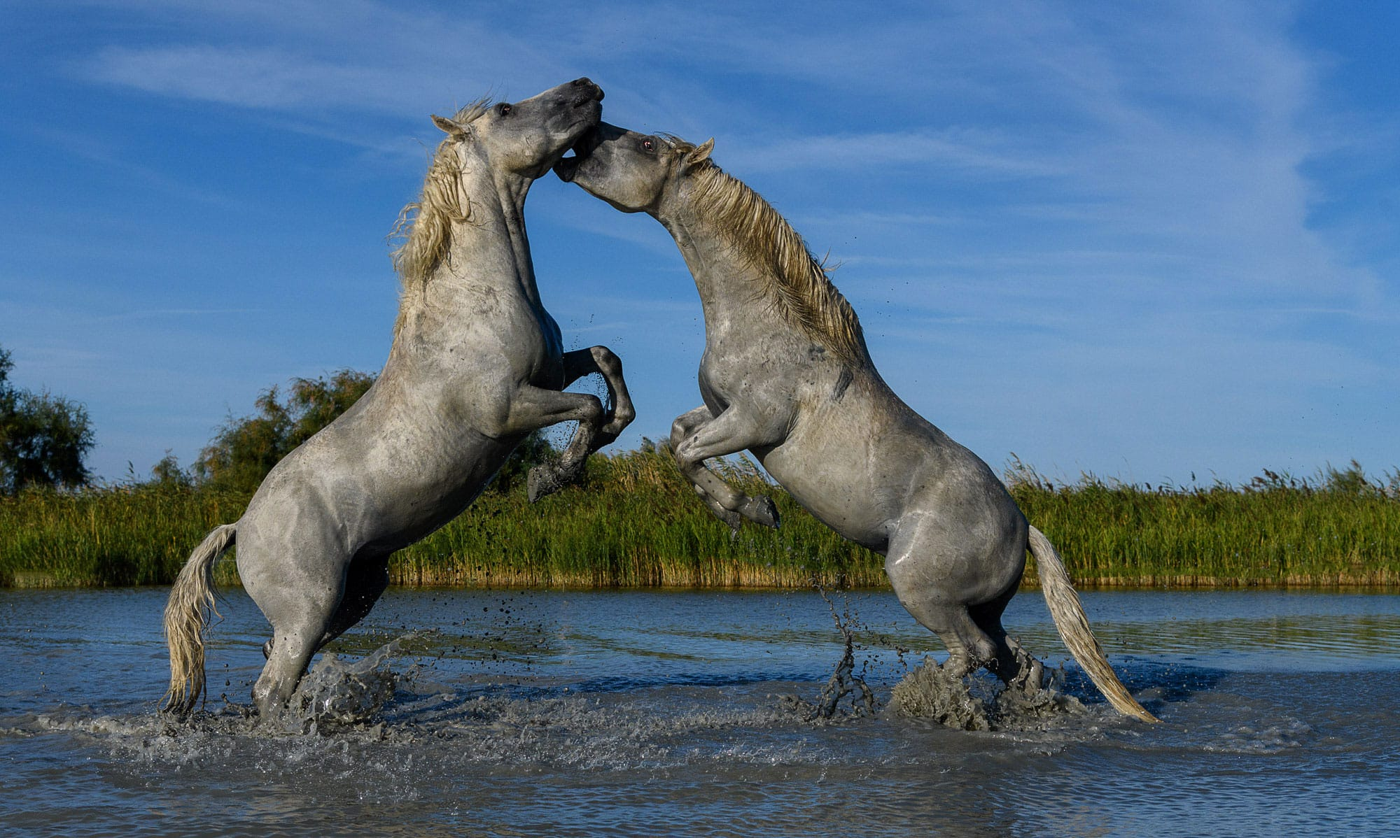camargue white horses stallions fighting
