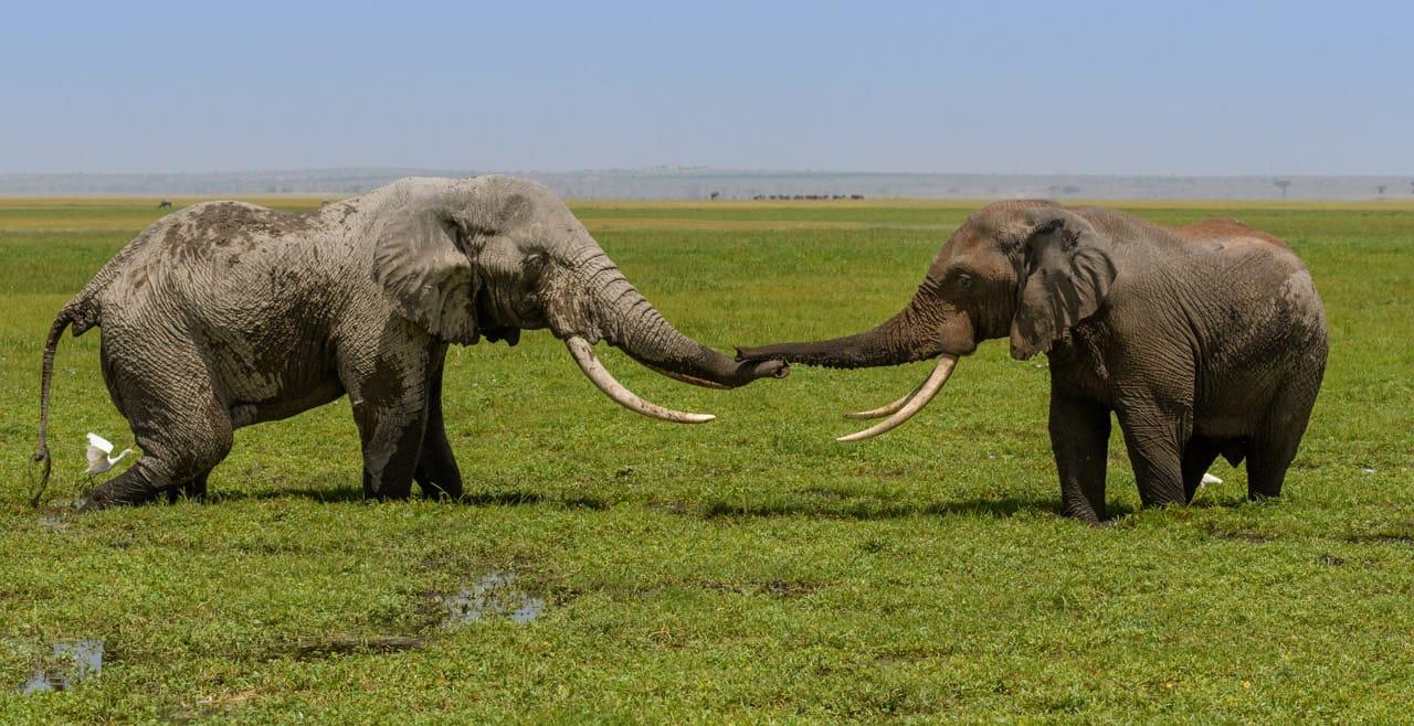 elehants greeting amboseli