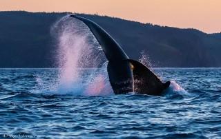 humpback whale tail slap newfoundland
