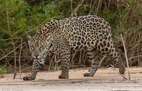 jaguar riverbank brazil