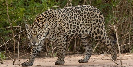 jaguar riverbank brazil