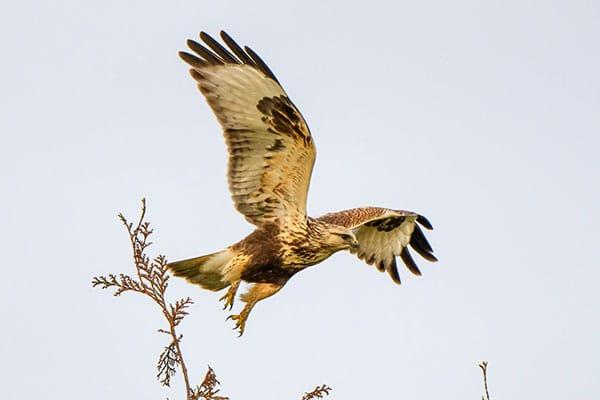 Rough legged Hawk in Flight Birds Galore Workshop