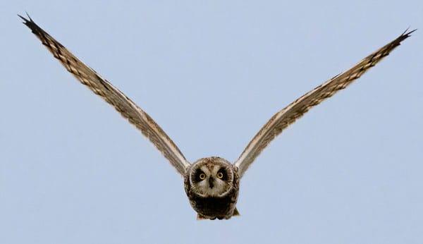 Short eared owl birds Galaore photo workshop