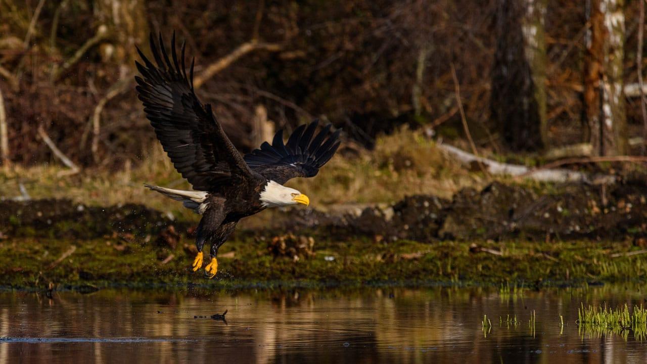 bald eagle flight british columbia