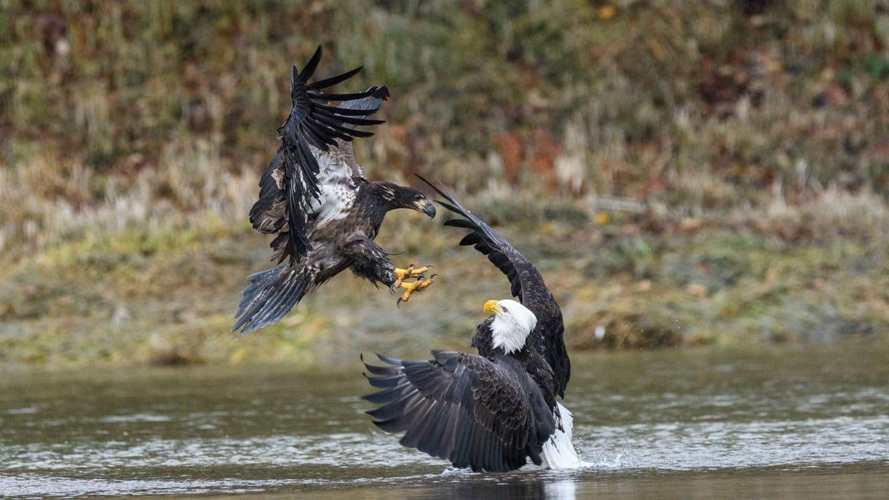 bald eagle interaction British columbia