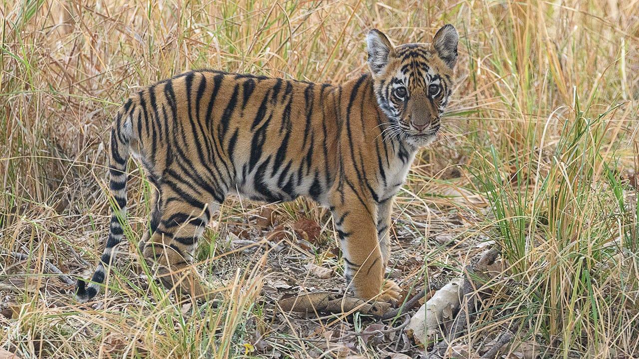 tiger cub khana