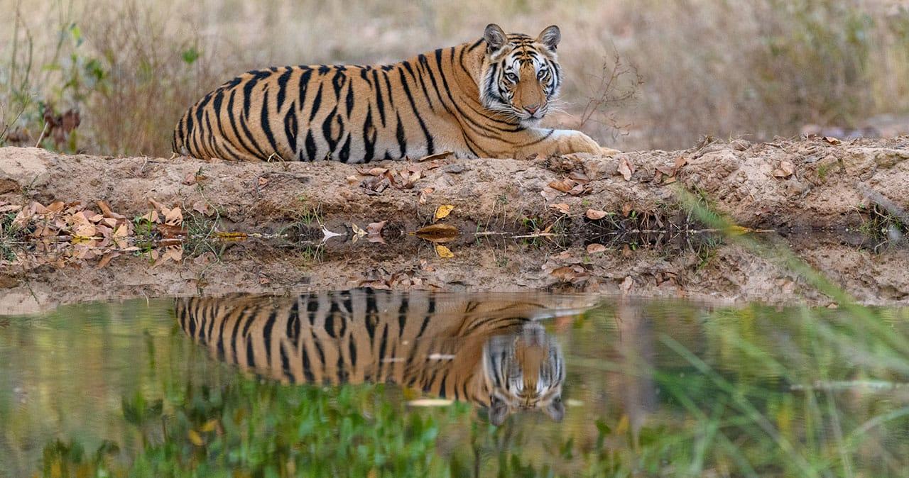 tiger reflection Bandhavgarh