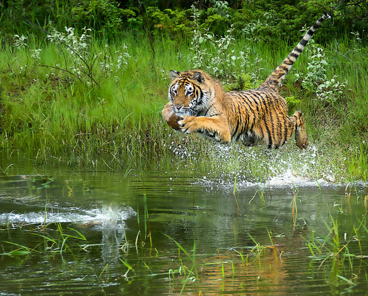 charlie newman leaping tiger
