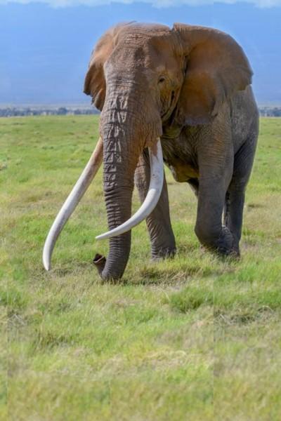Kenyas biggest elephant Tim