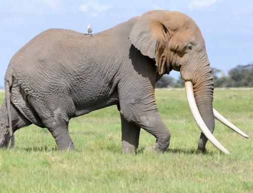 Giant Tusker Elephant in Kenya – Tim