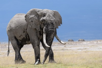 average male elephant amboseli