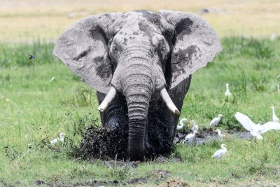big bull elephant amboseli