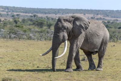 big elephant masai mara