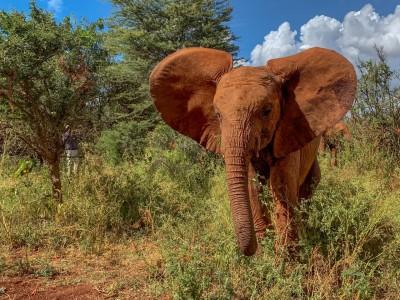 young elephant kenya