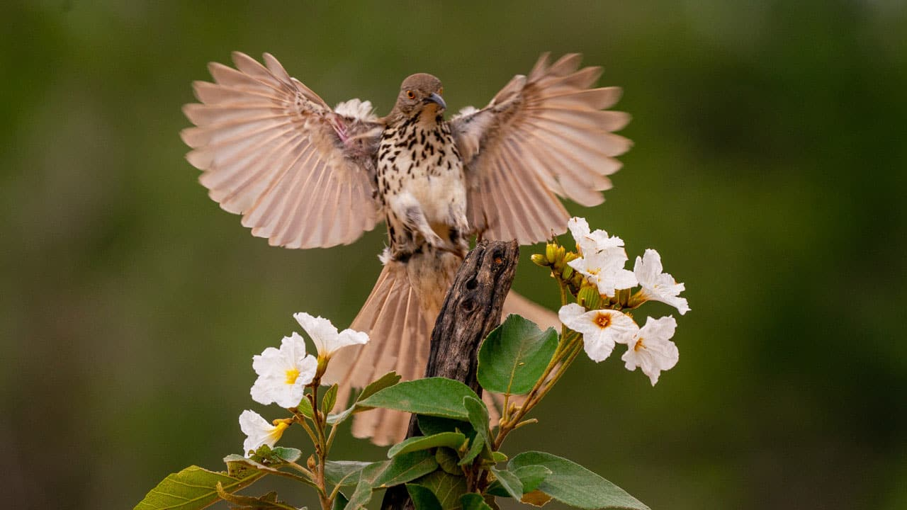 Long billed Thrasher Best Texas Bird Photography Worshop