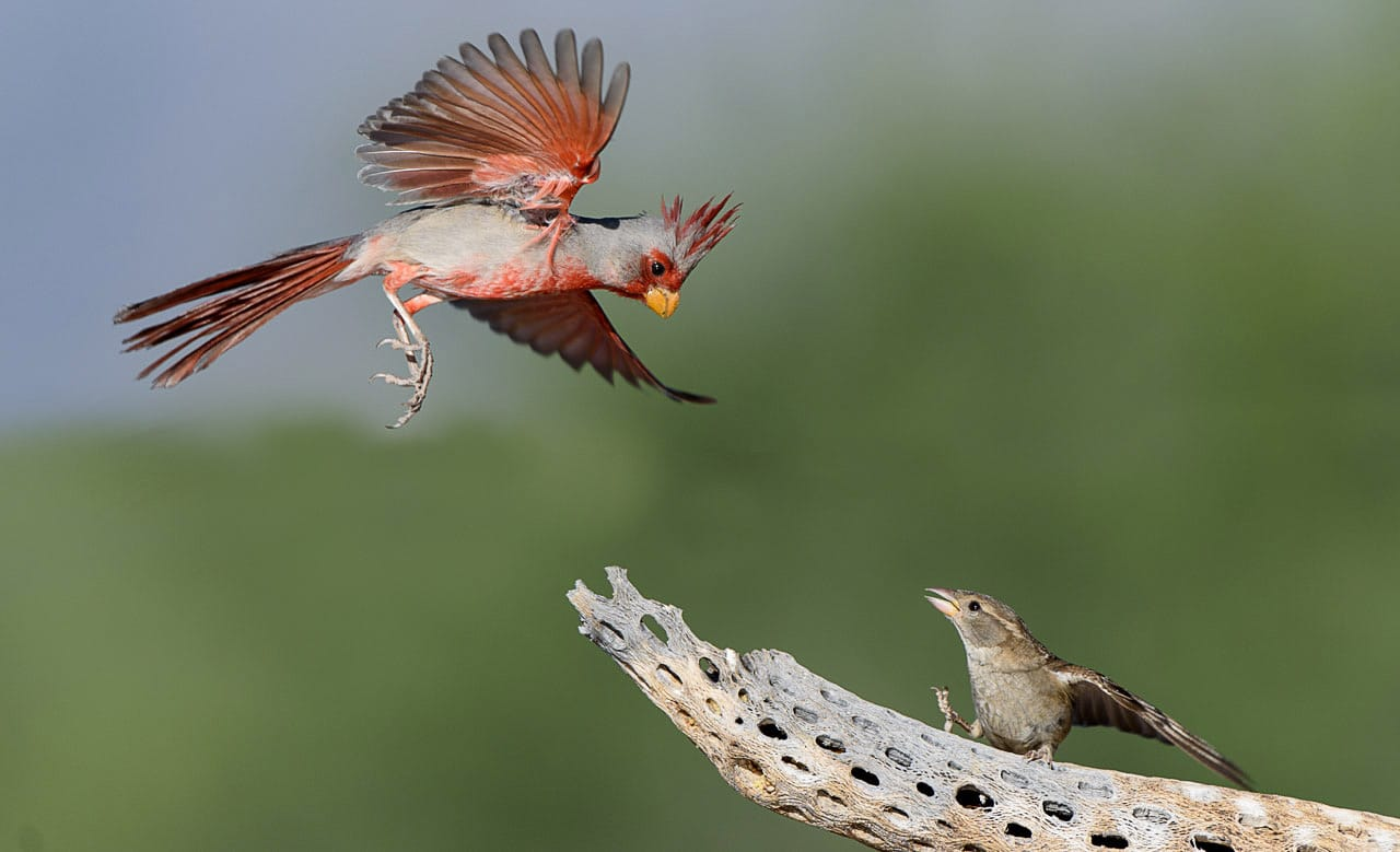 Pyrrhuloxia and Grosbeak Interaction
