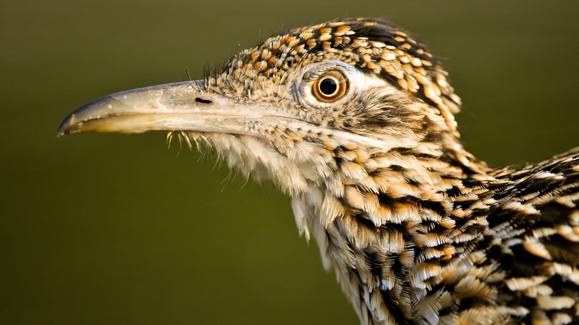 A Road Runner preens for photographers on the best Texas Bird Photography Workshop