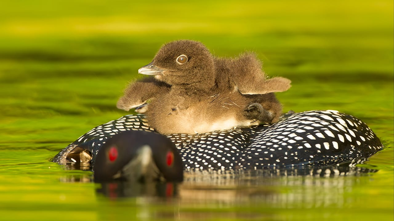 common loon chick riding on parents back