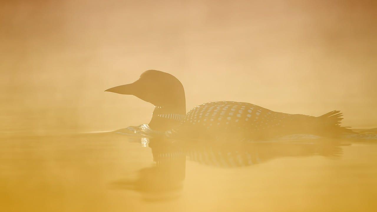 common loon foggy sunrise