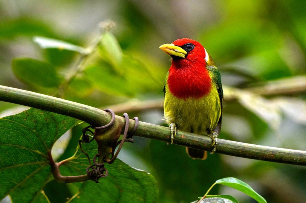 ecuadors incredible nature red headed barbet
