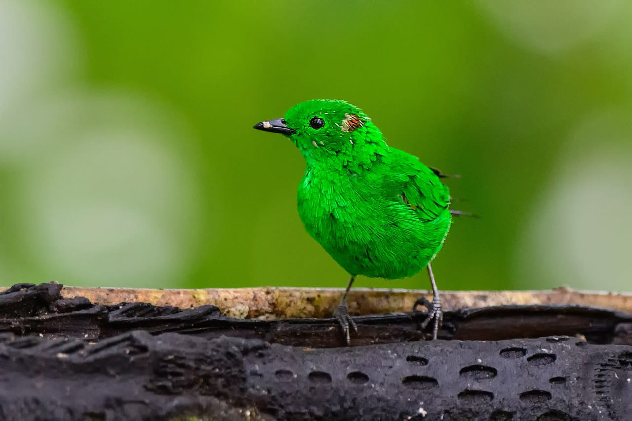 glistening green tanager best ecuador bird photography workshop
