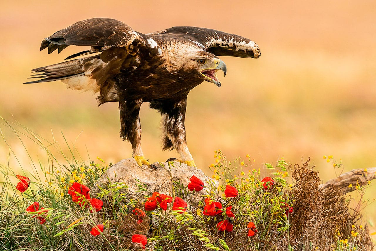 Best Birds of Spain Photography Workshop Sapanish Imperial Eagle
