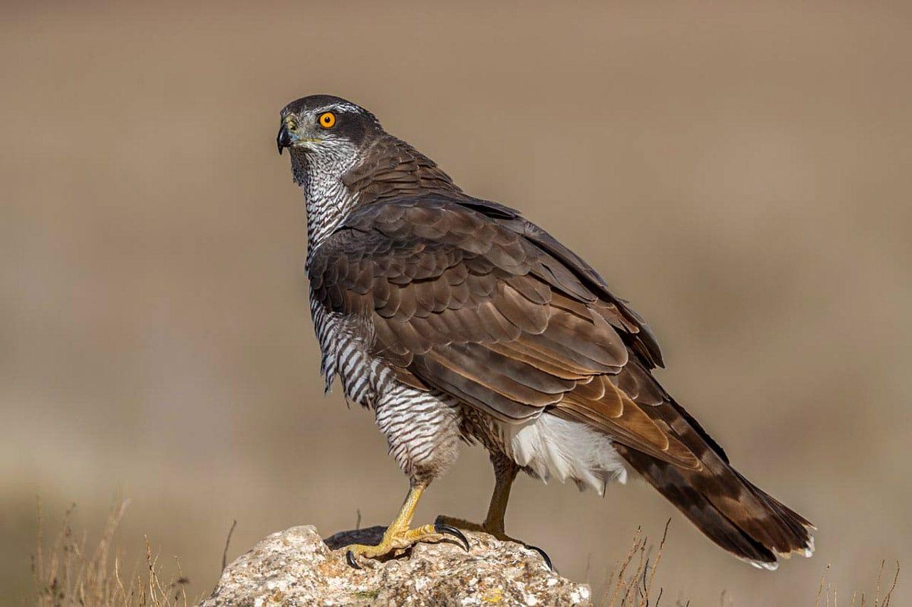 Goshawk Birds of Spain Photo Workshop