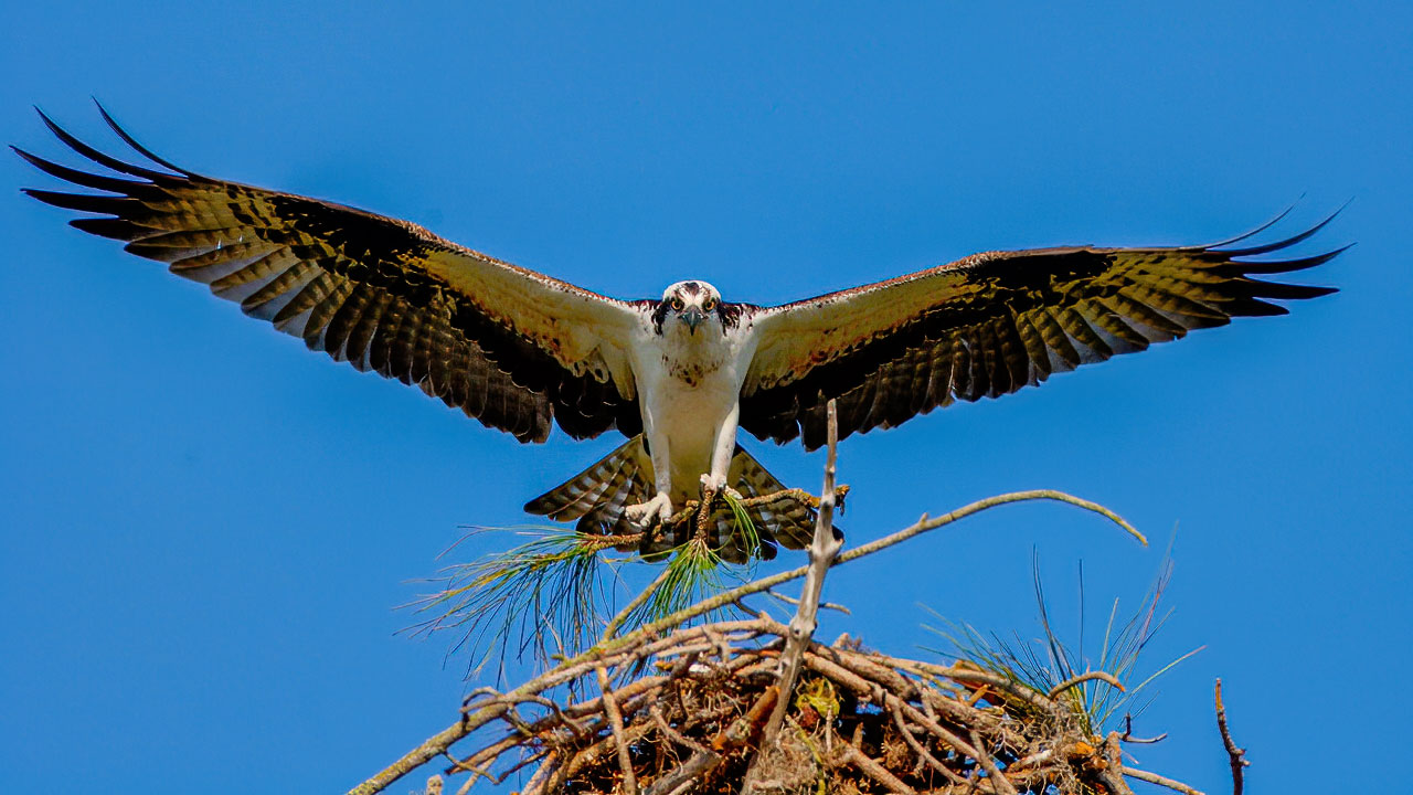 Osprey flying with Nest Sticks Osprey Photo Workshop
