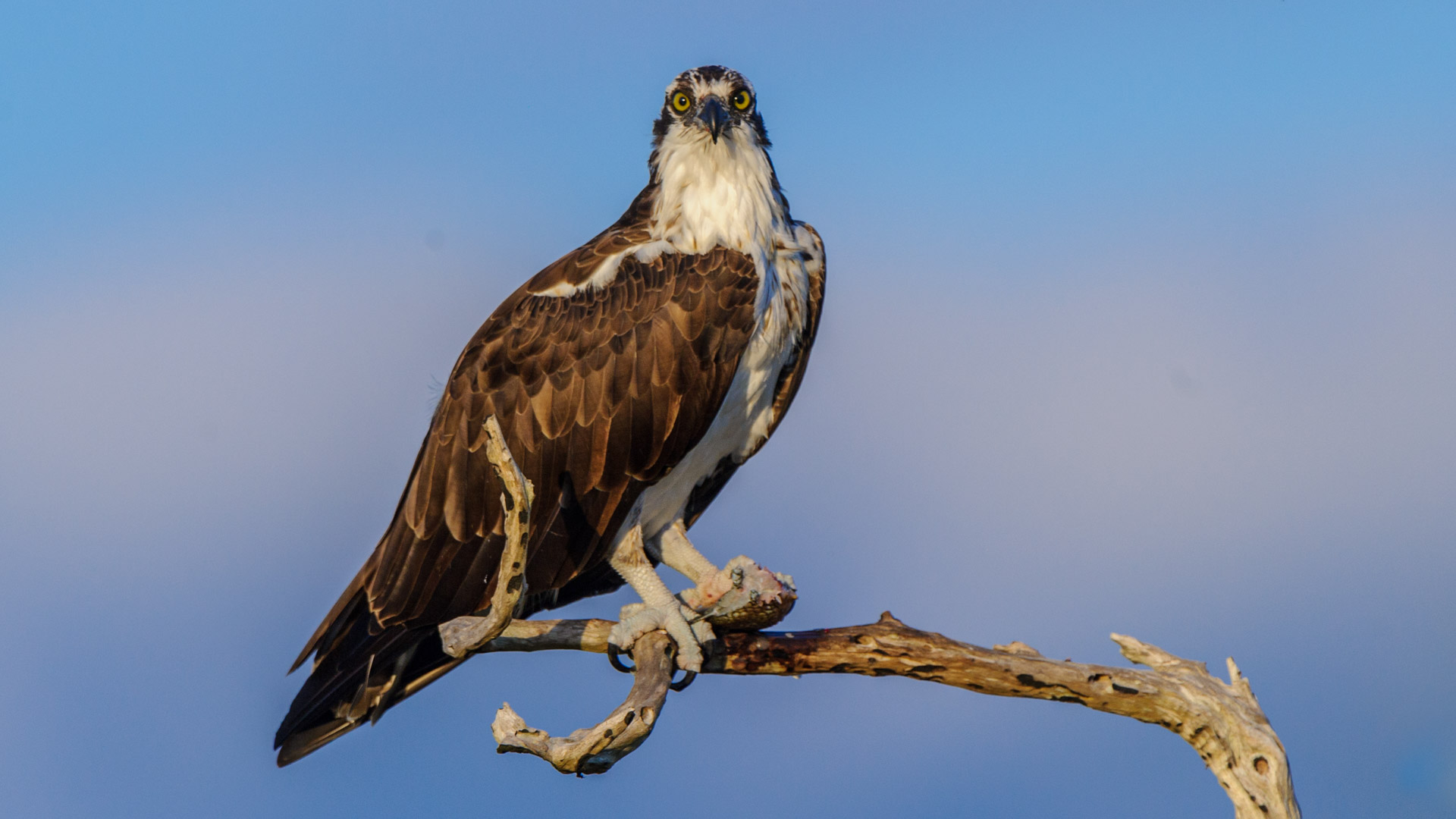 Osprey looking photographer