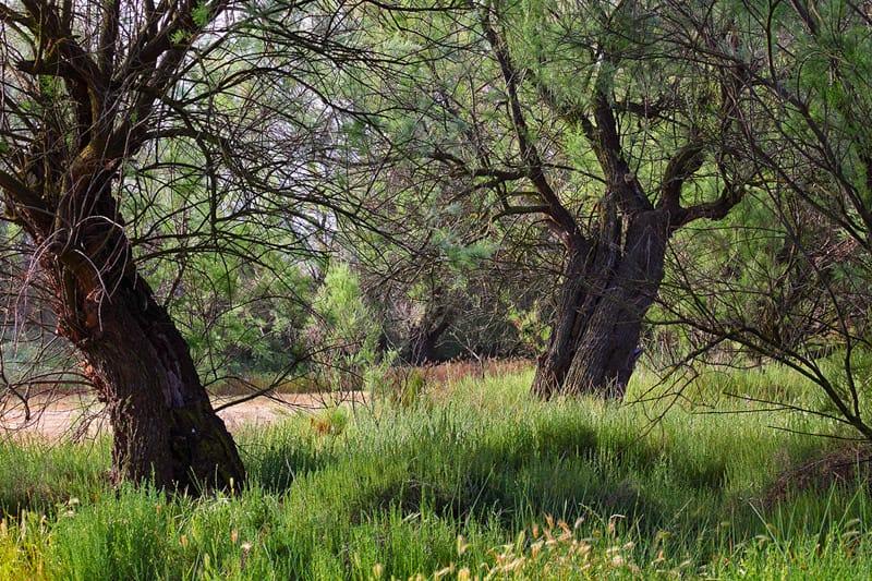 Taray Trees