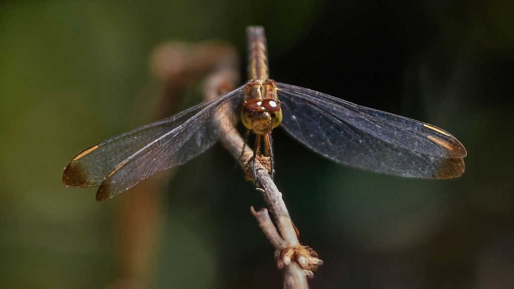 Dragonfly Head On Perspective