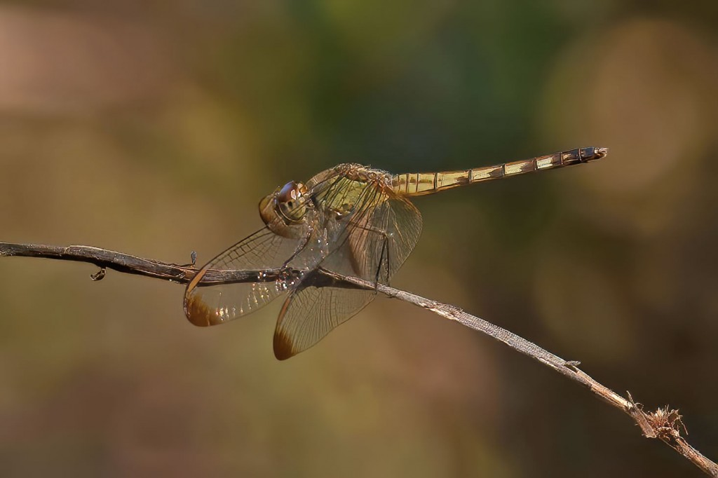 Dragonfly Side Perspective