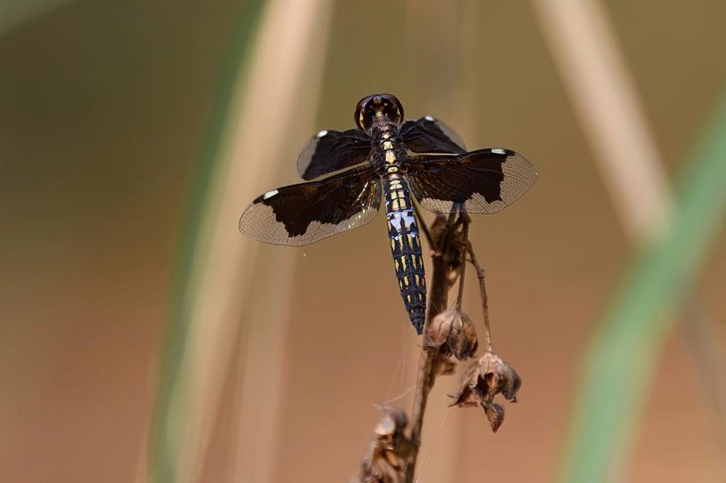 Dragonfly Weak Background
