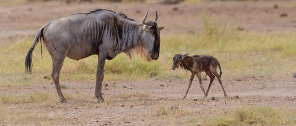 Newborn Wildebeest Great Migration