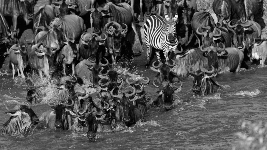 Zebra Great Wildebeest Migration