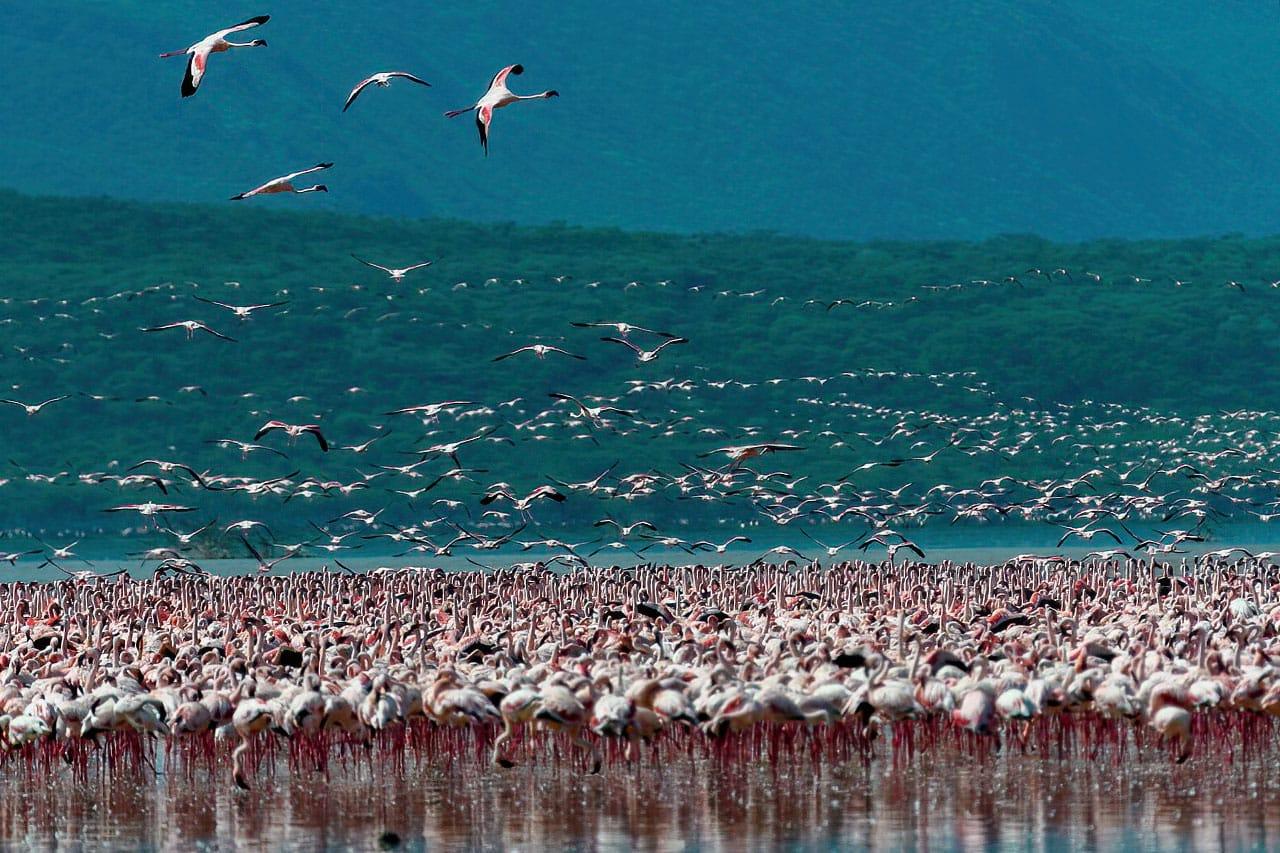 Lake Manyara Flamingos