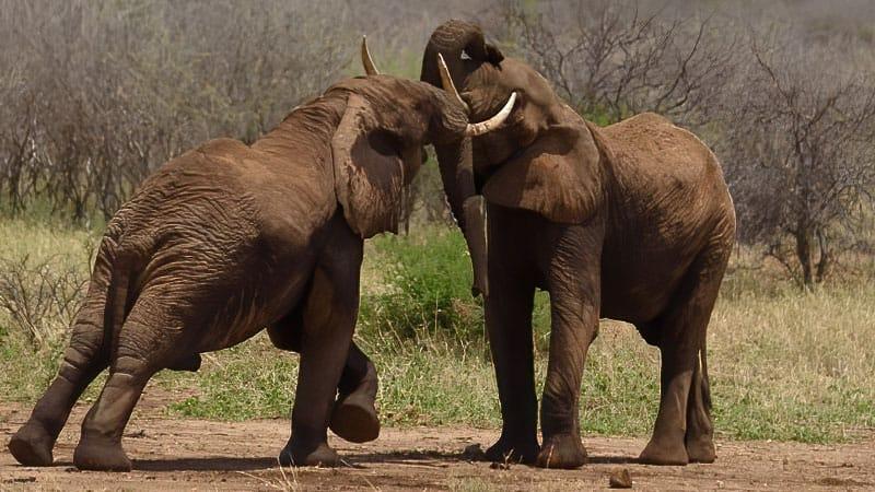 Tarangire Sparring Elephants