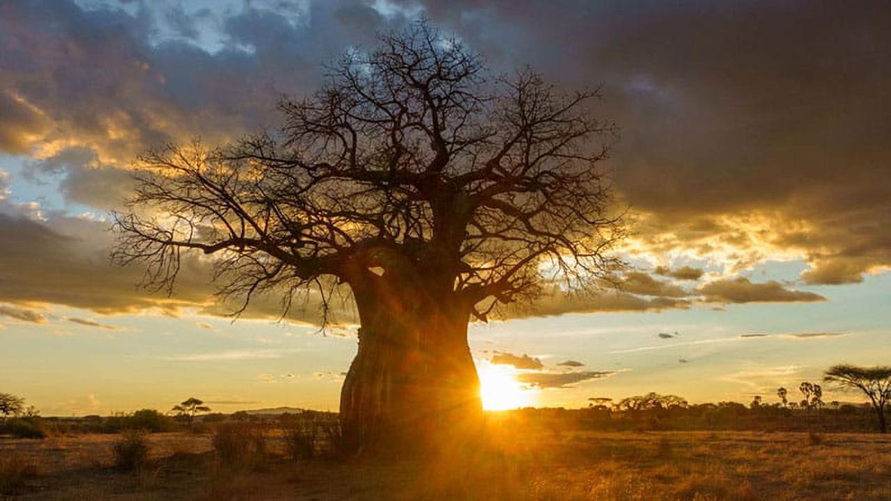 Tarangiri Baobab 1