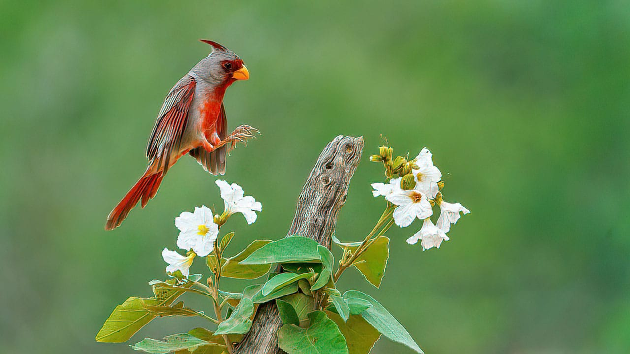 Pyrrhuloxia Texas Bird Photography Workshop