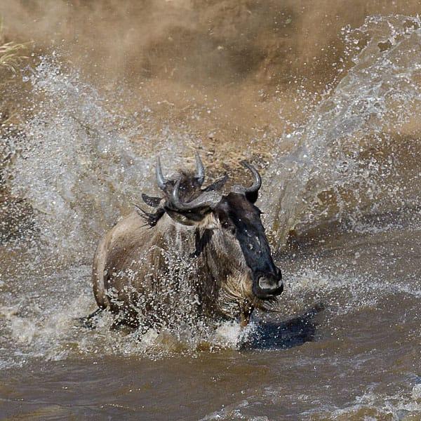 Wildebeest Migration Mara River Kenya