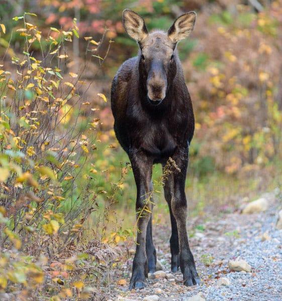 Moose Calf Best Fall Foliage Workshop Ontario