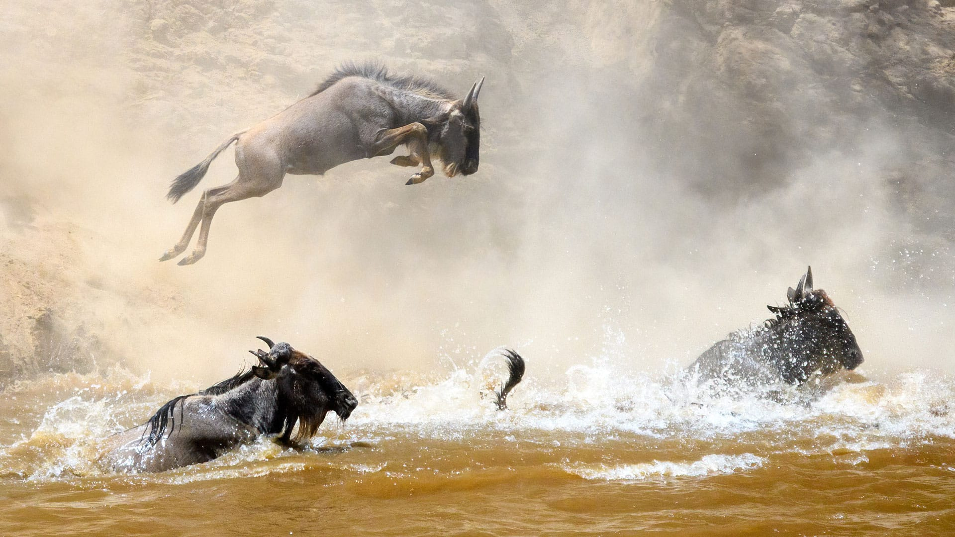 Wildebeest Leaping Mara River Great Migration